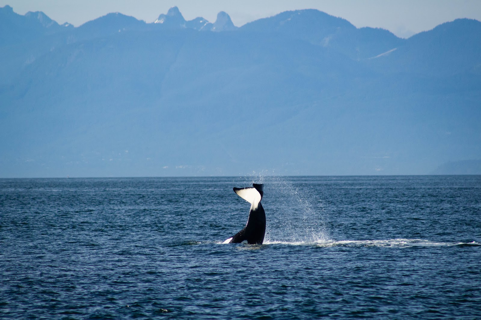 Whale watching at San Juan Island