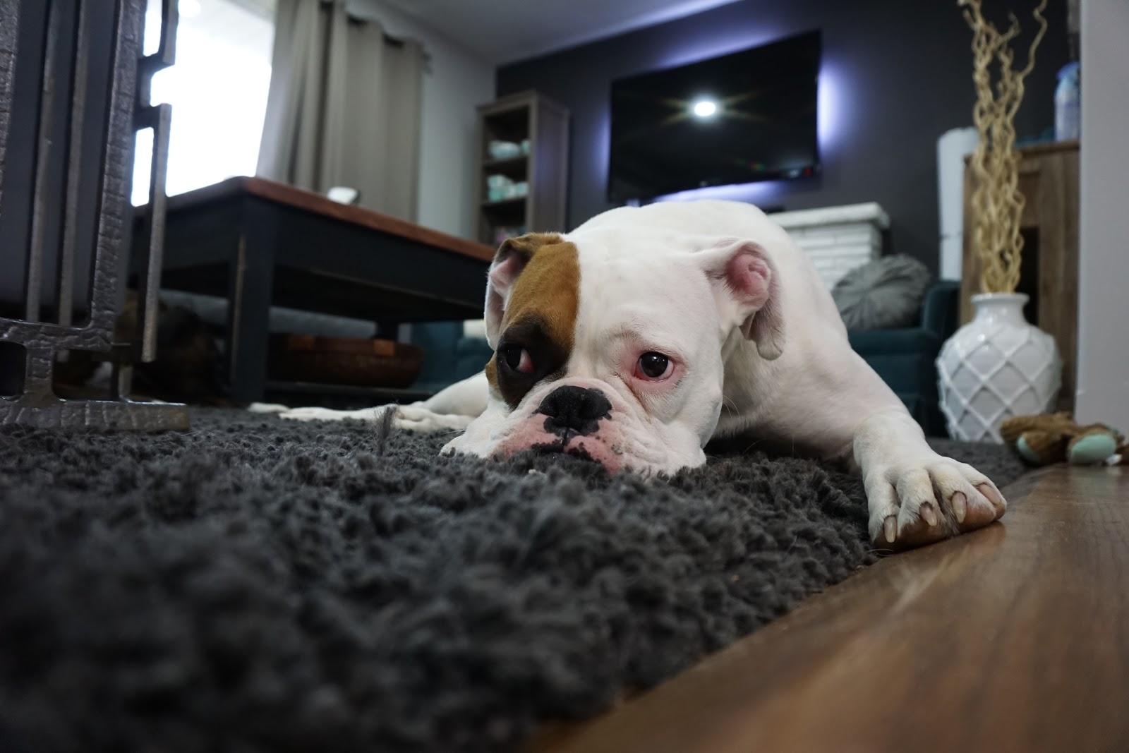 bull dog pouting on grey carpet