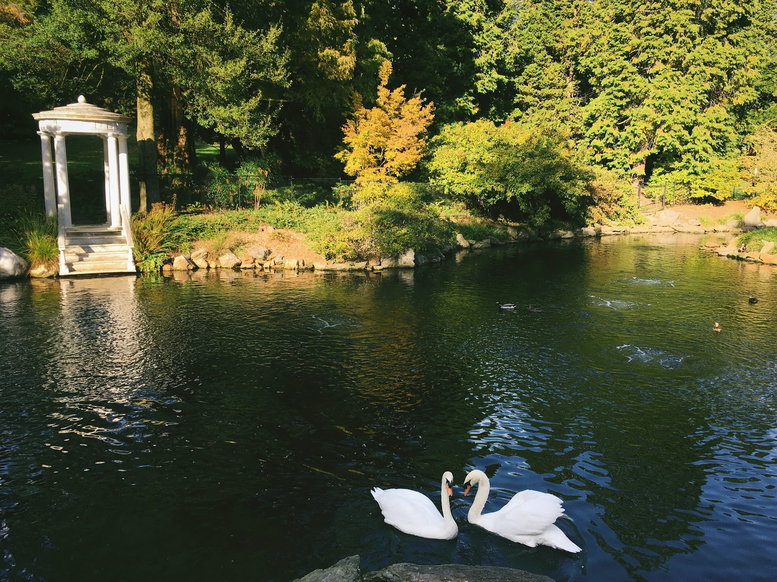 Two Swans in park lake